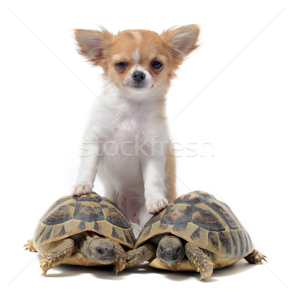 puppy chihuahua and turtles Stock photo © cynoclub