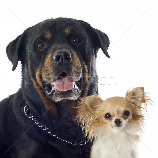 ストックフォト: ロットワイラー · 肖像 · 黒 · 頭 · 友情