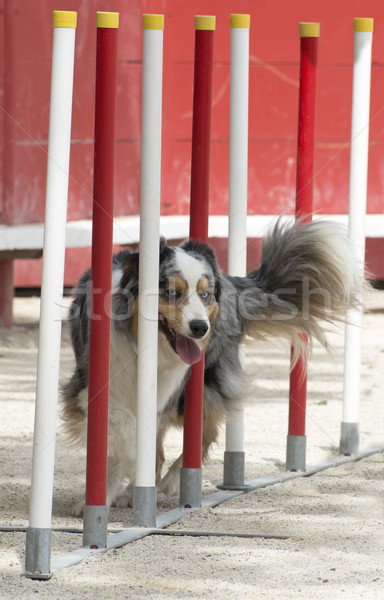australian shepherd in agility Stock photo © cynoclub