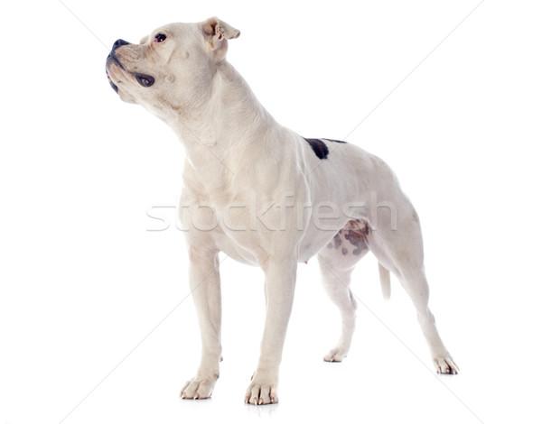 Американский бульдог белый животного бульдог белом фоне американский Сток-фото © cynoclub