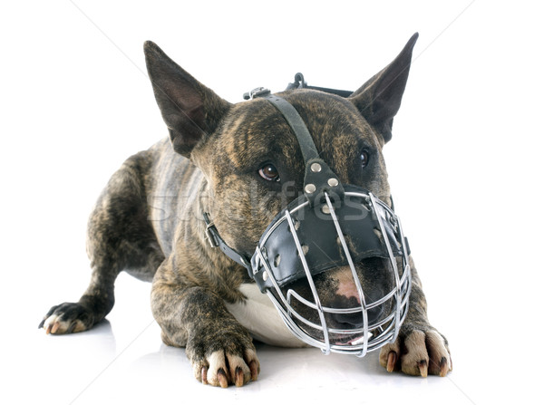 bull terrier and muzzle Stock photo © cynoclub