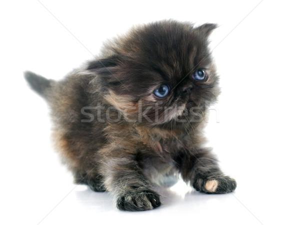 Сток-фото: котенка · белый · кошки · студию · ПЭТ · изолированный