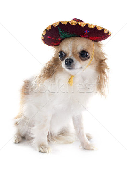 chihuahua and sombrero Stock photo © cynoclub