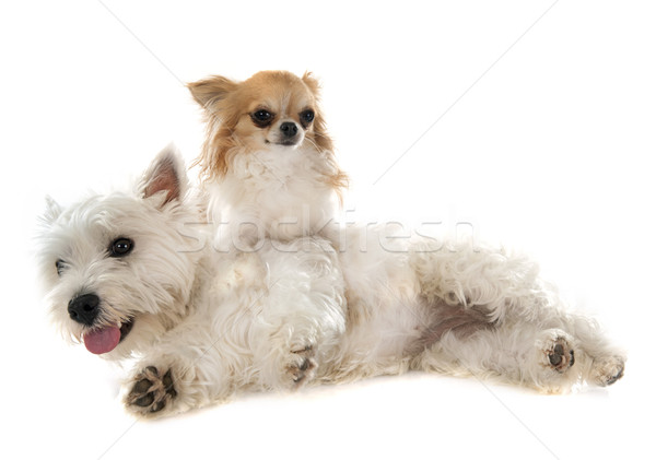west highland terrier and chihuahua Stock photo © cynoclub