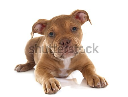 puppy old english bulldog Stock photo © cynoclub