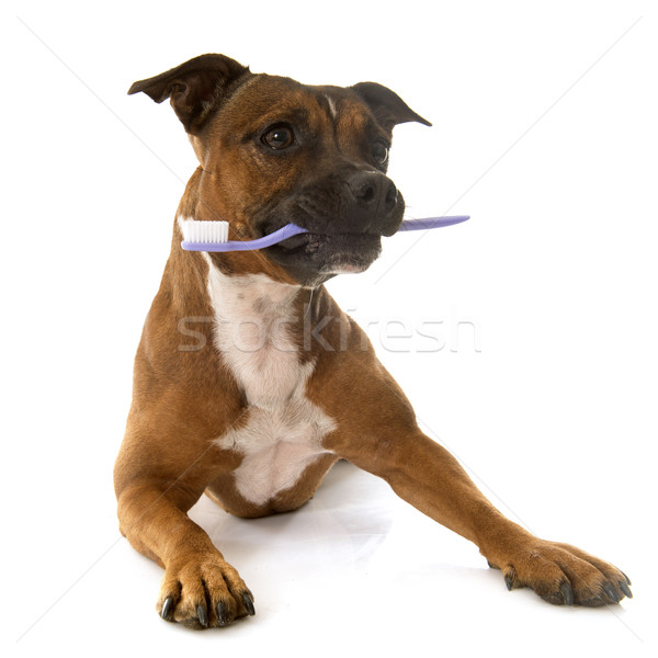 staffordshire bull terrier and toothbrush Stock photo © cynoclub