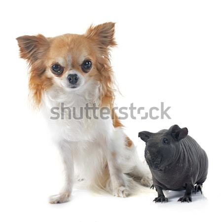 Fiatal sziámi macska kutya állat kutyakölyök kiscica Stock fotó © cynoclub