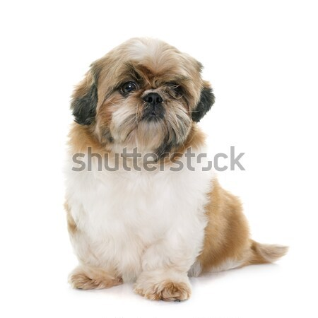 female shih tzu  Stock photo © cynoclub