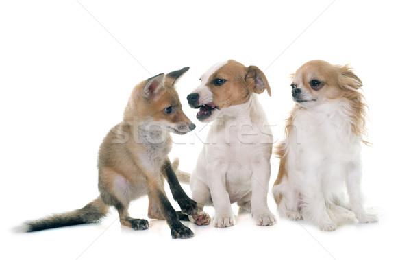 Piros róka medvebocs kutyák fehér barátok Stock fotó © cynoclub
