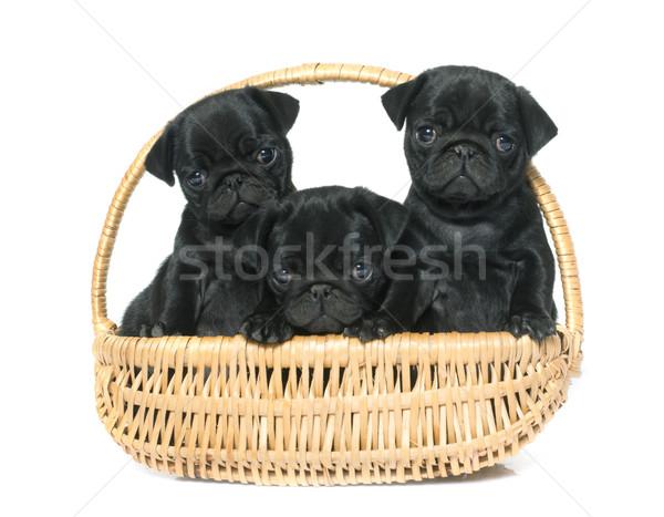 puppies black pug Stock photo © cynoclub