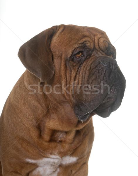 ボルドー 白 犬 頭 男性 成人 ストックフォト © cynoclub