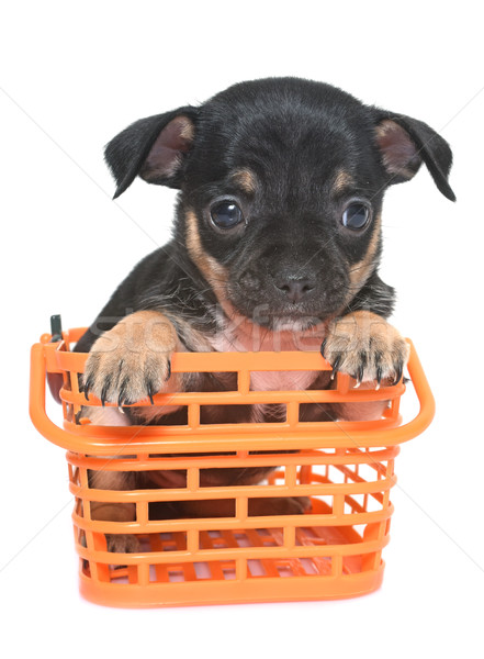 puppy chihuahua in studio Stock photo © cynoclub