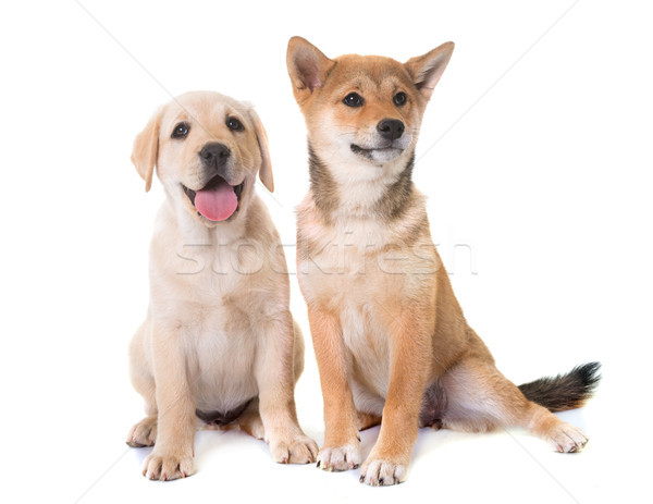 puppies labrador retriever and shiba inu Stock photo © cynoclub