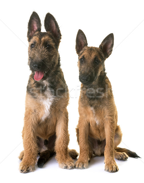puppies belgian shepherd laekenois Stock photo © cynoclub