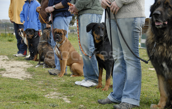 Eğitim köpekler kulüp köpek itaat Stok fotoğraf © cynoclub