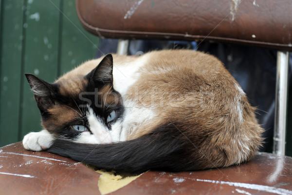 Sziámi macska gyönyörű fajtiszta fekszik öreg szék Stock fotó © cynoclub