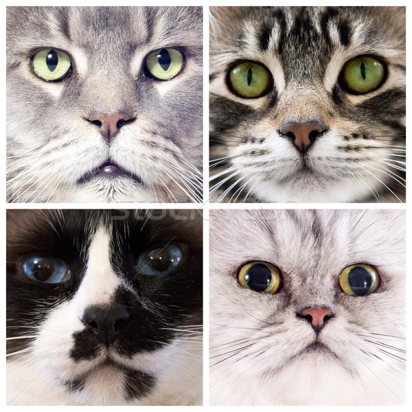 голову кошек четыре портрет студию Сток-фото © cynoclub