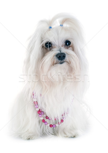 maltese dog Stock photo © cynoclub