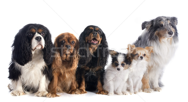 six dogs Stock photo © cynoclub