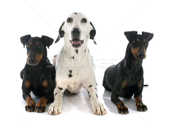 Manchester dálmata branco preto animal de estimação três Foto stock © cynoclub