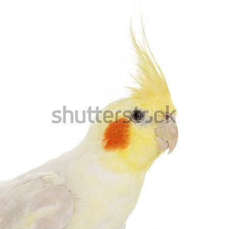 Cockatiel Stock photo © cynoclub