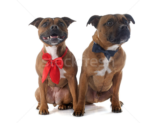 Staffordshire bull terriers Stock photo © cynoclub