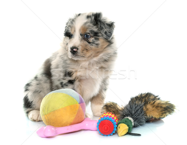 子犬 オーストラリア人 羊飼い おもちゃ 白 青 ストックフォト © cynoclub