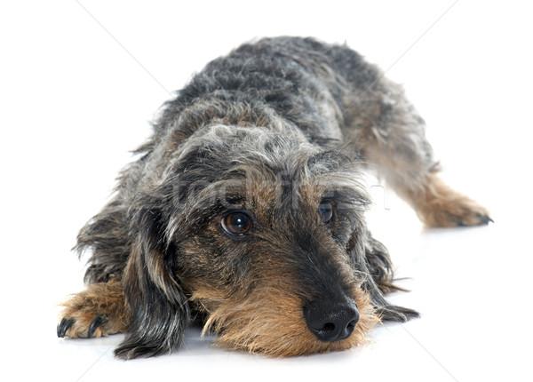 Draad hond triest jonge studio boos Stockfoto © cynoclub
