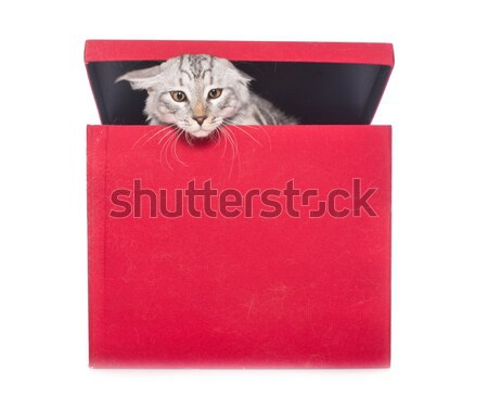 maine coon cat playing Stock photo © cynoclub