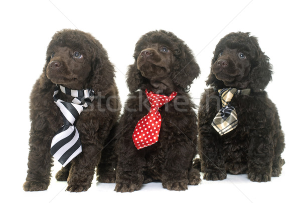 Puppies bruin poedel witte hond leuk Stockfoto © cynoclub