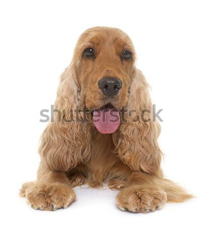 Kutyakölyök fiatal stúdió díszállat angol Stock fotó © cynoclub