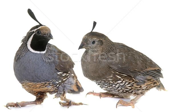 California quails in studio Stock photo © cynoclub