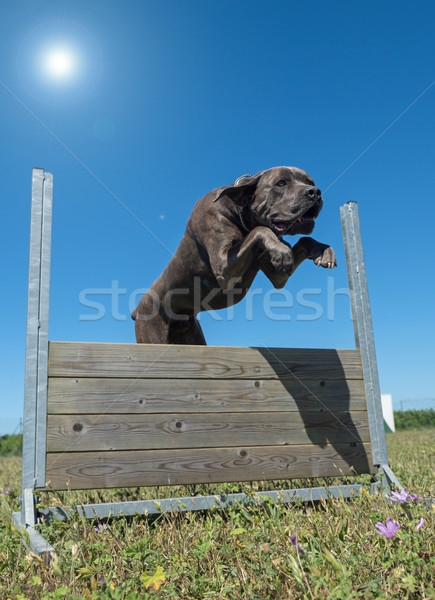 Formación obediencia saltar campo cerca Foto stock © cynoclub