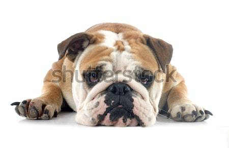 english bulldog Stock photo © cynoclub