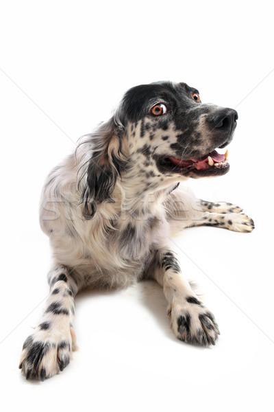 İngilizce sevimli aşağı beyaz köpek Stok fotoğraf © cynoclub
