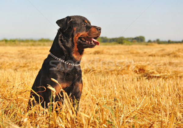 rottweiler in a field Stock photo © cynoclub