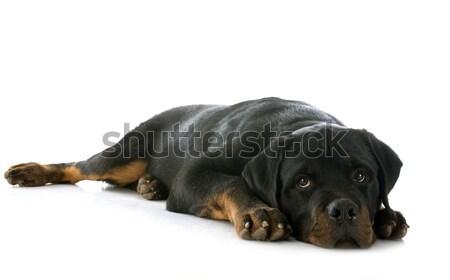 ротвейлер портрет щенков белый черный Сток-фото © cynoclub