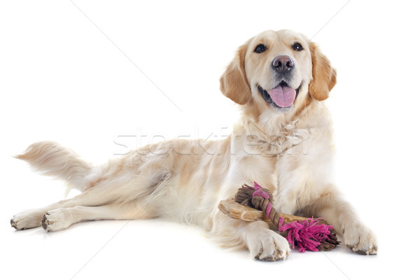 Stockfoto: Golden · retriever · speelgoed · witte · hond · bal