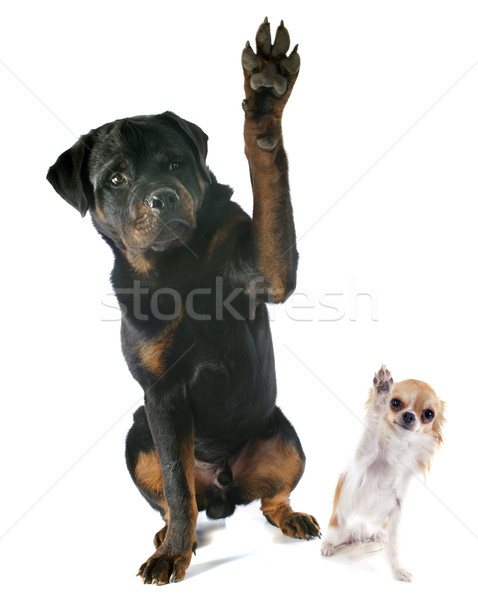 Photo stock: Rottweiler · jeunes · noir · jouer · chiot · jouer