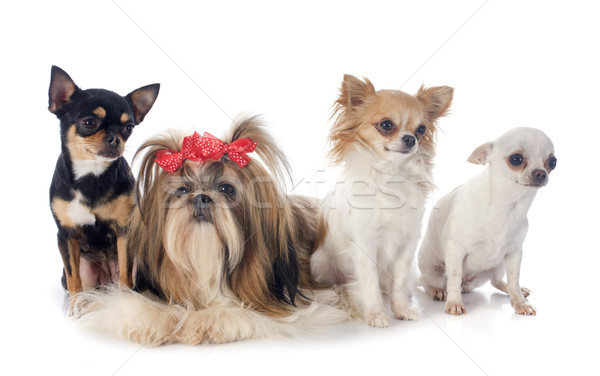 four little dogs Stock photo © cynoclub