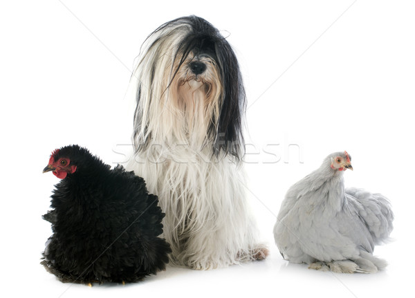 Tibetan terrier and chicken Stock photo © cynoclub