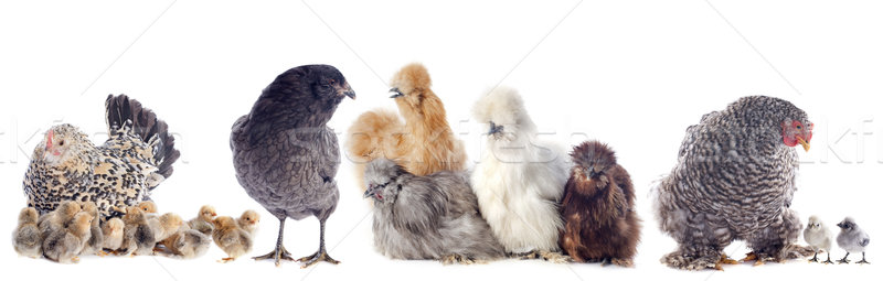 group of chicken Stock photo © cynoclub
