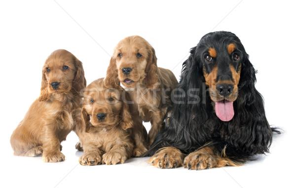 familiy english cocker Stock photo © cynoclub