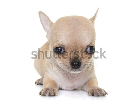 chihuahua Stock photo © cynoclub