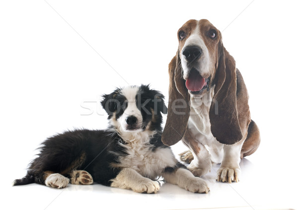 basset hound and border collie Stock photo © cynoclub