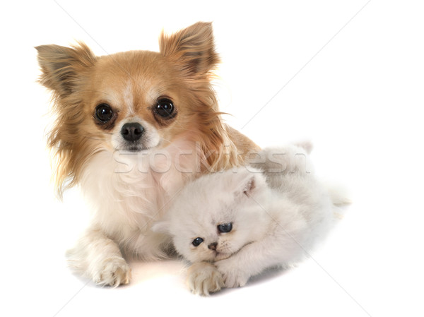 kitten exotic shorthair and chihuahua Stock photo © cynoclub