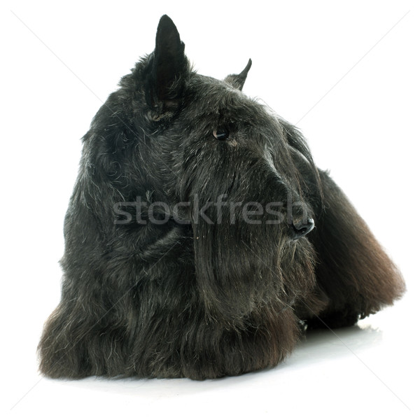 old scottish terrier Stock photo © cynoclub