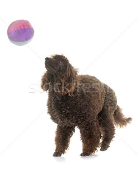 пудель играет мяча белый собака Сток-фото © cynoclub
