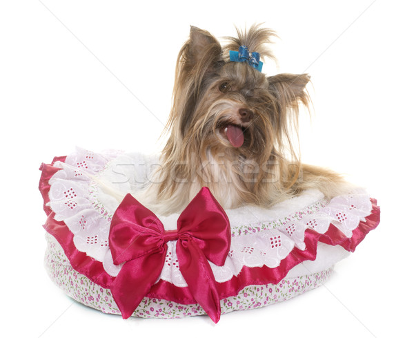 Foto stock: Yorkshire · terrier · blanco · perro · jóvenes · cachorro