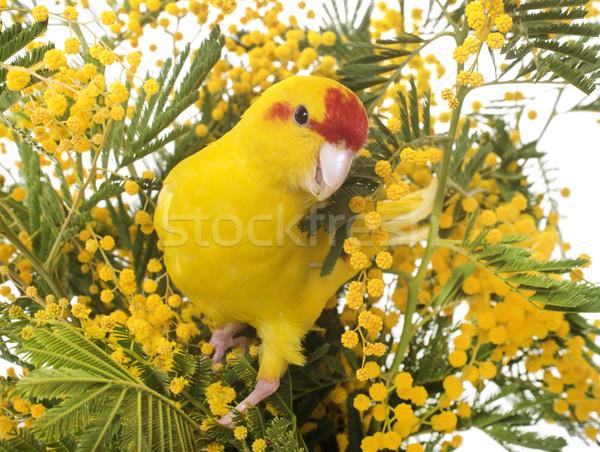 Nueva Zelandia flor aves pluma loro amarillo Foto stock © cynoclub